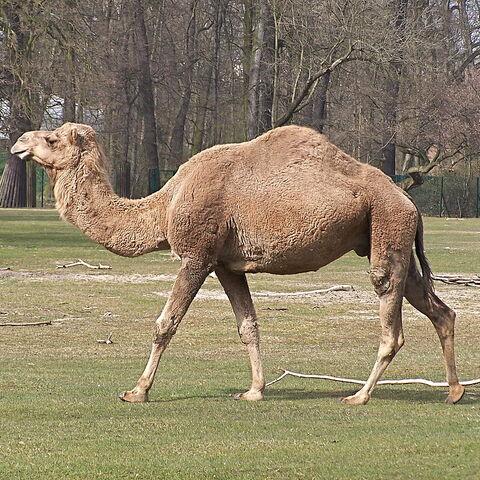 Dromedary camel at Tierpark Berlin