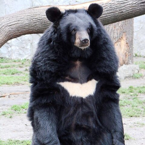 A Asiatic black bear at the Wrocław zoo