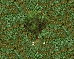 ZT1 Yew Tree