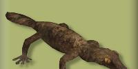 Giant Leaf Tailed Gecko
